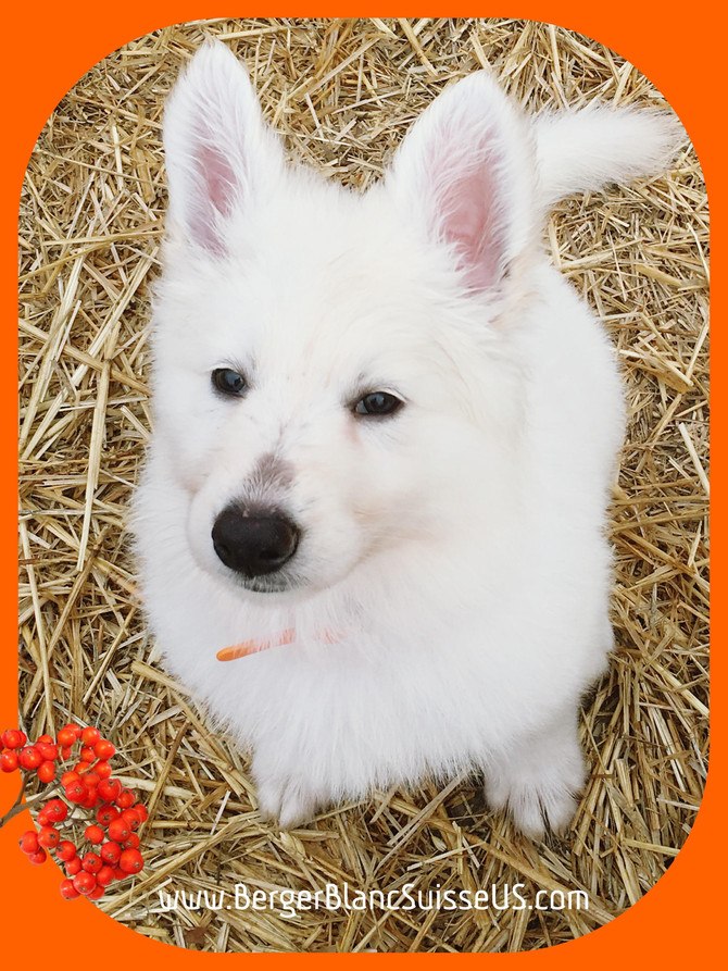 Berger Blanc Suisse: The Best Breed EVER!