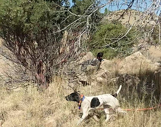German Shorthaired Pointer on Mearns Quail, Gus