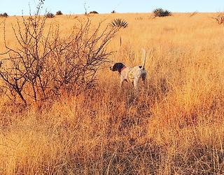 Bird Hunting Dog, Dee Dee
