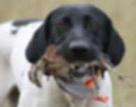 Gun dog with Bobwhite Quail, Blue