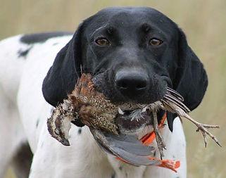Gun dog with Bobwhite Quail, Blue