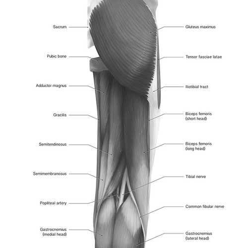 Posterior Thigh
