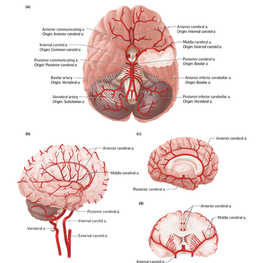 Arterial Supply to the Brain