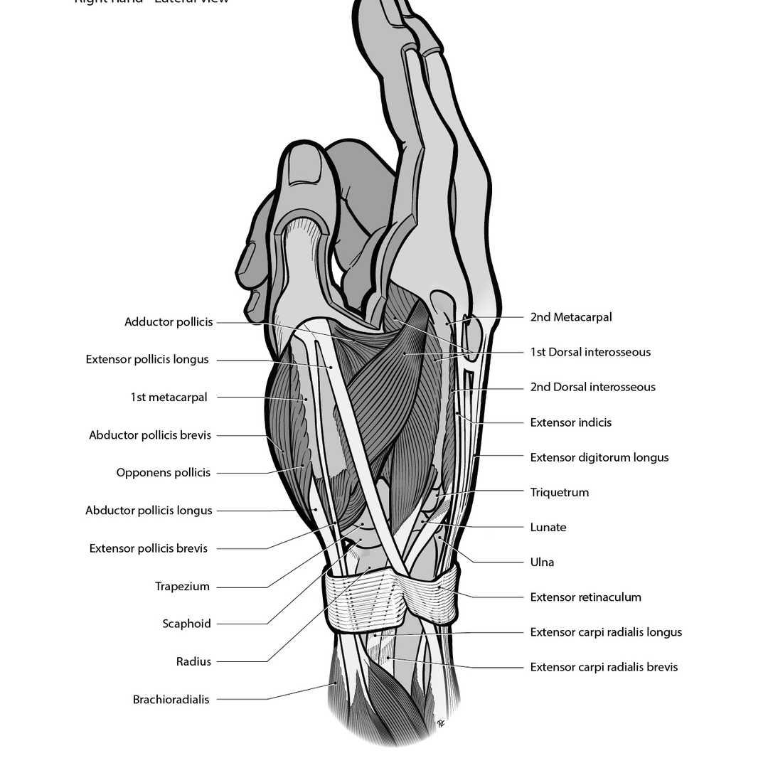 Anatomical Snuffbox