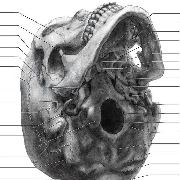 Human Skull: Inferolateral View