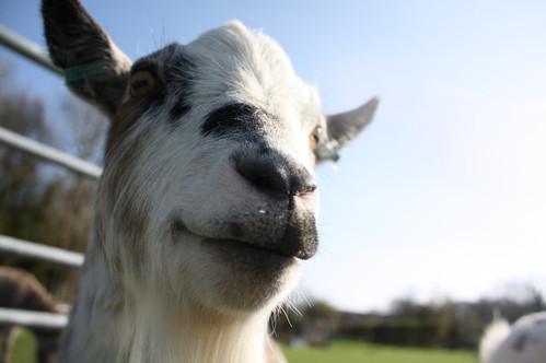 Oh hello goat!.jpg