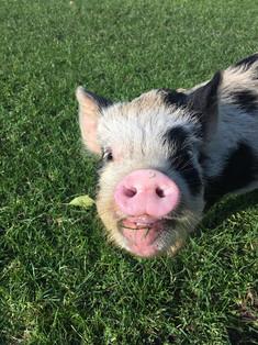 PIG!.jpg