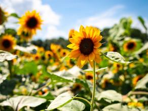 Hayling Island Sunflower Fields
