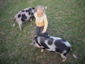 Friendly pigs.jpeg