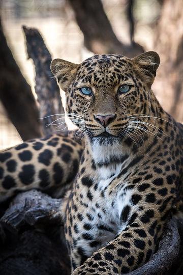 The Jaguar's Eyes