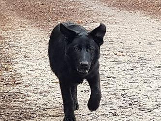 NITA Berger allemand noire régulatrice chiot OCCI CANIN Tarn 81 France
