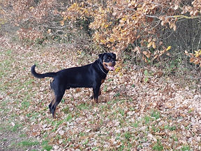 Okan Rottweiler régulateur chien réactif congénère OCCI CANIN Tan 81 Frane