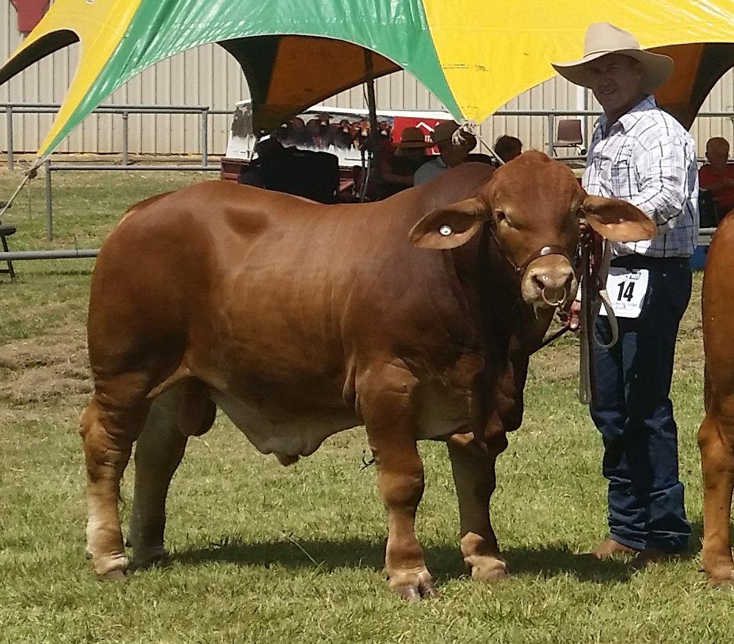 VV Xman winning Calf Champion Gatton Futurity
