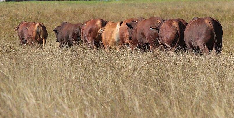 bulls in a line.jpg