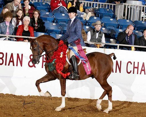 2004 Chestnut Purebred Arabian Gelding Show Horse