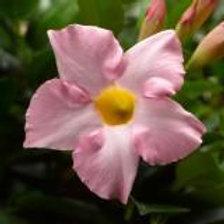 Dipladenia Madinia Pink