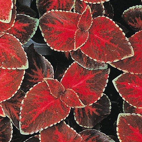 Coleus Wizard Velvet Red