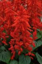Salvia Lighthouse Red