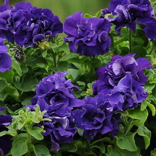 Petunia Double Cascade Blue