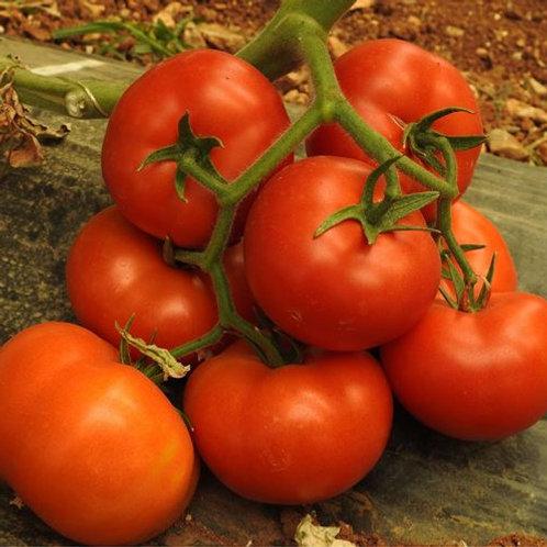 Tomato Moreton hybrid