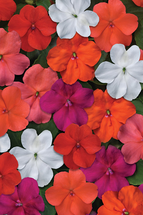 Impatiens Beacon Select Mix