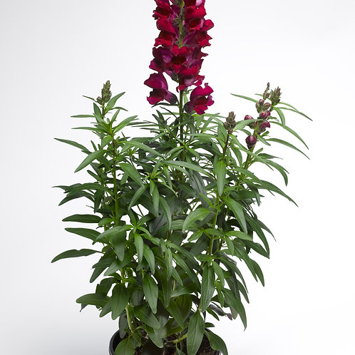 Snapdragon Liberty Crimson