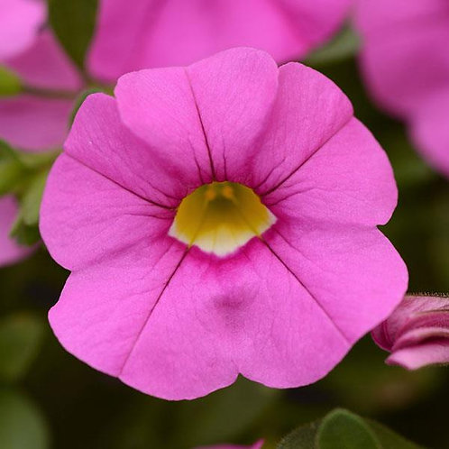 Calibrachoa Cabaret Light Pink