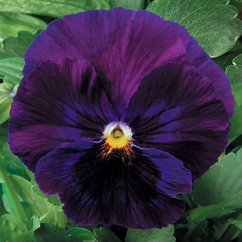 Pansy Pure Violet