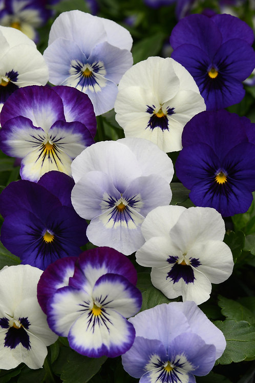 Viola Sorbet Ocean Breeze Mix