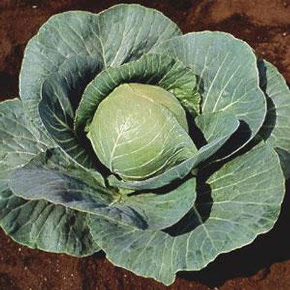 Cabbage Early Stonehead