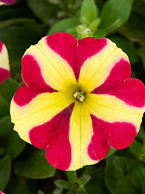Petunia Amore Queen of Hearts