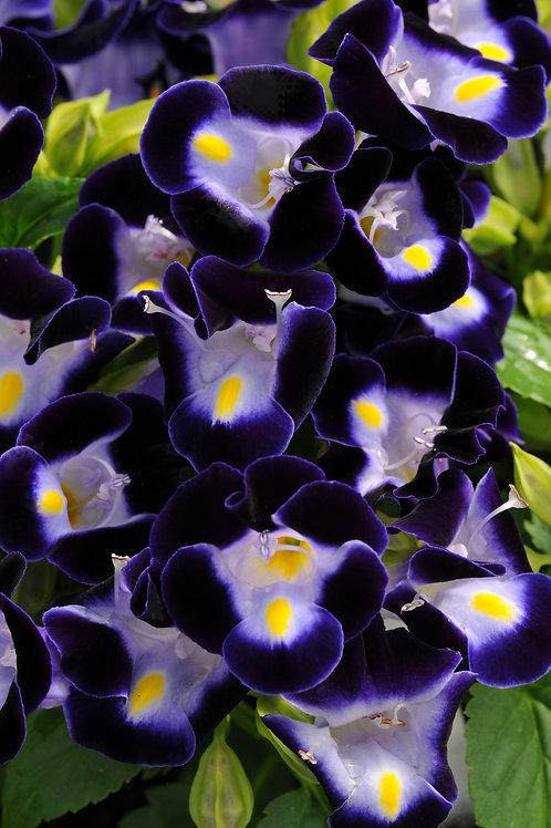 Torenia Kauia Deep Blue