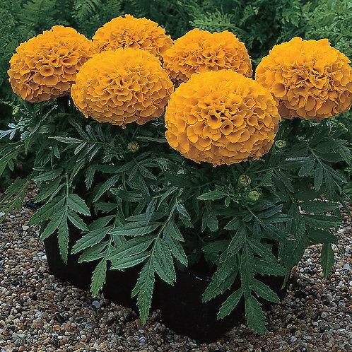 Marigold medium Antigua Orange