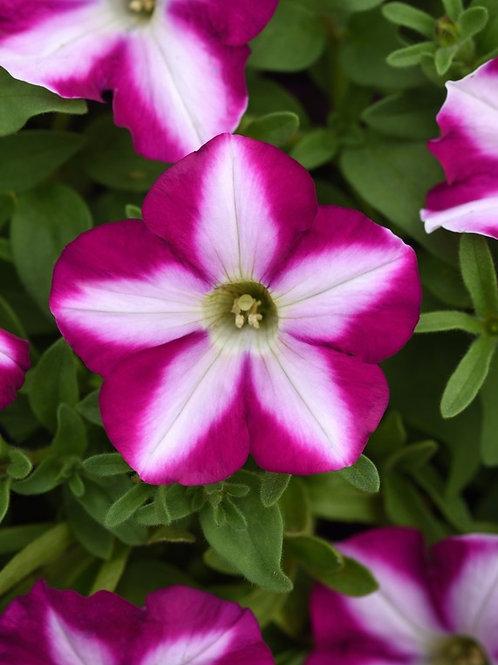 Petunia Headliner Raspberry Swirl