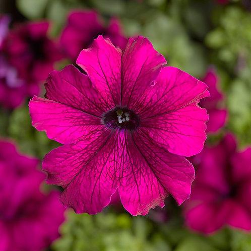 Petunia TriTunia Burgundy