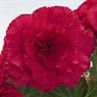 Begonia Non-Stop Deep Rose