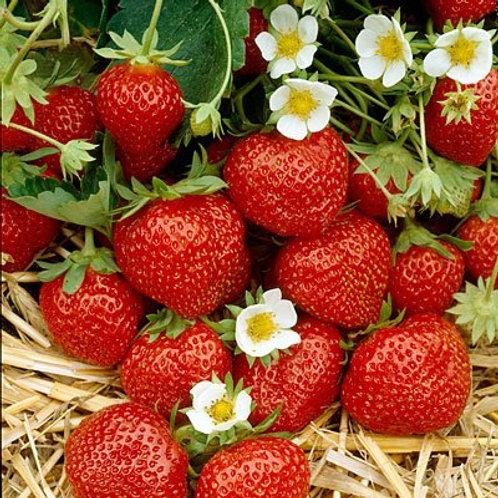 Strawberry Everbearing Ozark