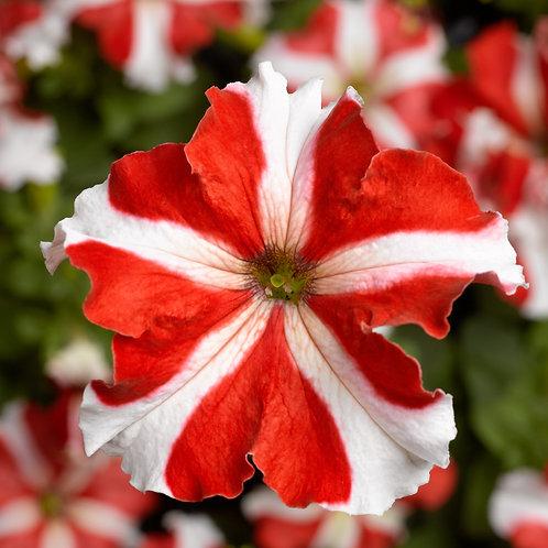 Petunia TriTunia Red Star
