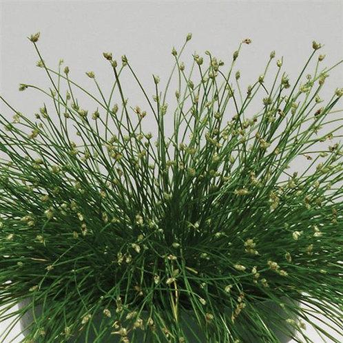 Grass Fiber Optic
