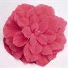 Begonia Non-Stop Pink