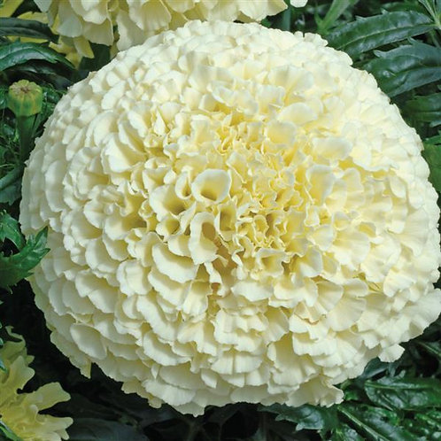 Marigold medium Vanilla