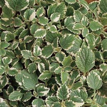 Plectranthus variegata