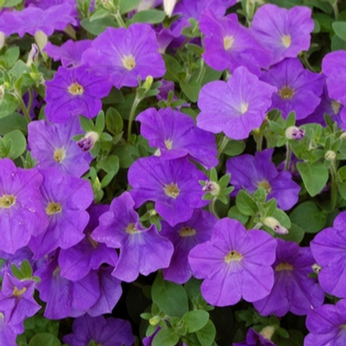 Petunia Surprise Blue Sky