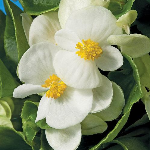 Begonia Bada Bing White