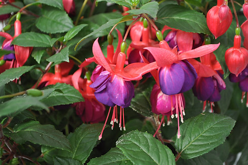 Fuchsia Windchimes Rose/Purple