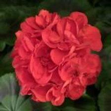 Geranium Americana Red