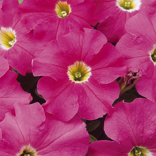Petunia Dreams Pink