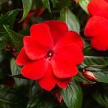 Impatiens New Guinea SuperSonic Red