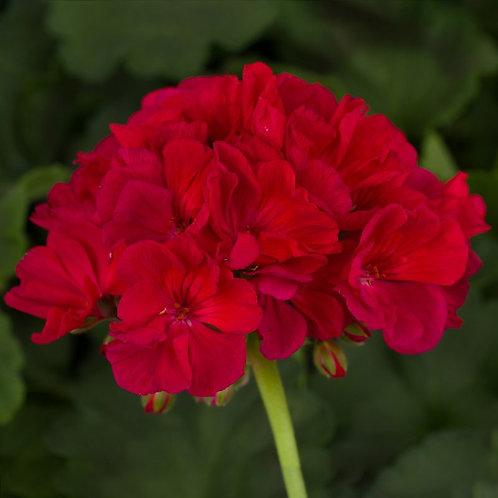 Geranium Americana Cherry Rose