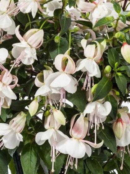 Fuchsia Windchimes White/White